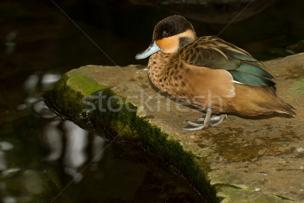 A colorful tropical duck Stock photo © michaklootwijk