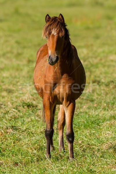 Grazing horse Stock photo © michaklootwijk