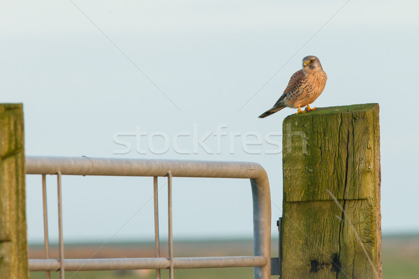 Stock photo: Falcon resting in the evening sun