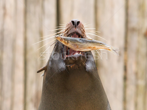 South American Sea Lion (Otaria flavescens) Stock photo © michaklootwijk