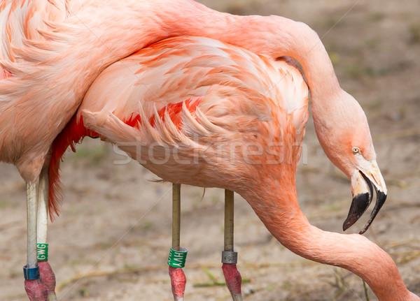 разведение фламинго пару голландский зоопарке связи Сток-фото © michaklootwijk