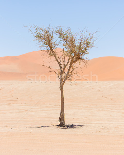 Living tree in front of the red dunes of Namib desert Stock photo © michaklootwijk