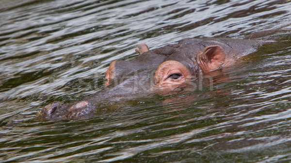 гиппопотам лице воды бегемот избирательный подход природы Сток-фото © michaklootwijk