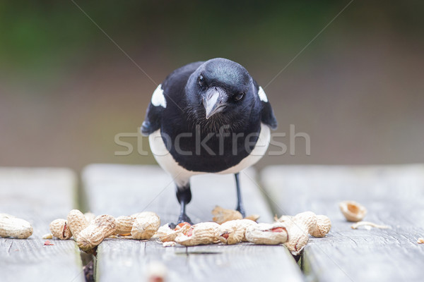 Stock photo: European Magpie (pica pica)