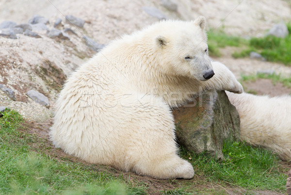 Stock photo: Young polarbear resting