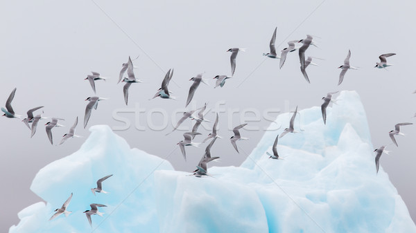 Birdlife in Jokulsarlon, a large glacial lake in Iceland Stock photo © michaklootwijk