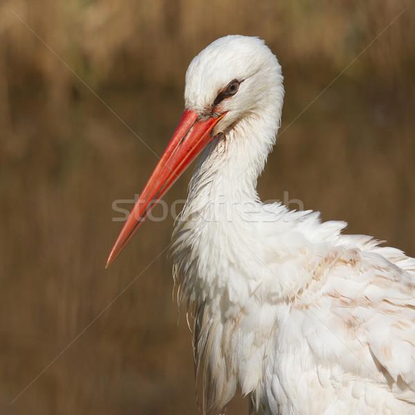 Close-up of a stork Stock photo © michaklootwijk