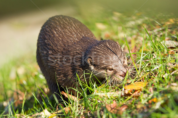 Otter is walking in the grass Stock photo © michaklootwijk