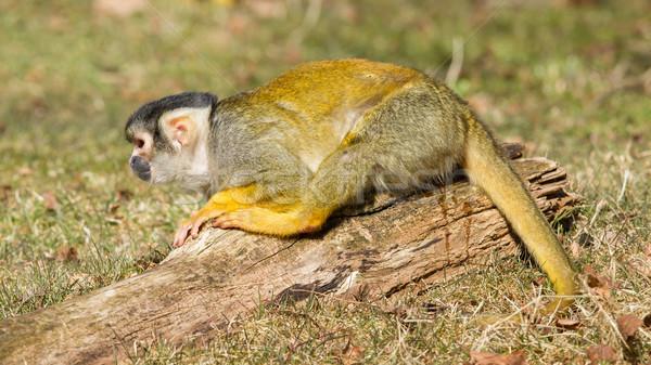 Stock photo: Peeing Squirrel Monkey (Saimiri boliviensis)