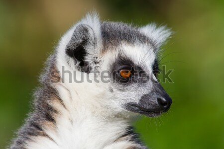 Close-up of a ring-tailed lemur Stock photo © michaklootwijk