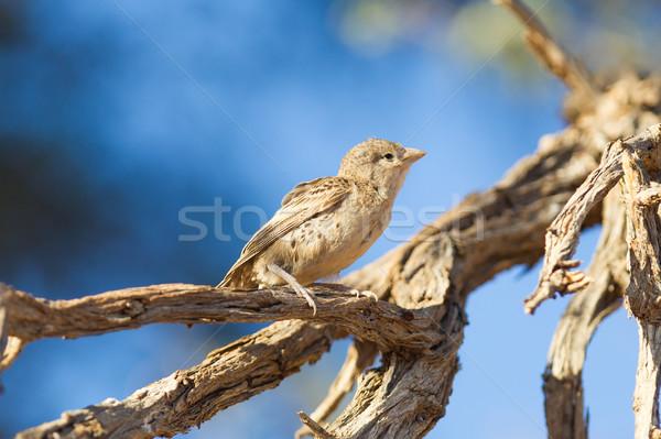 Jovem pardal espécies Namíbia céu natureza Foto stock © michaklootwijk