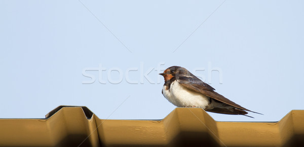 A young swallow Stock photo © michaklootwijk