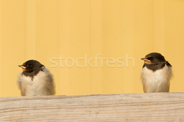 Two young swallows Stock photo © michaklootwijk