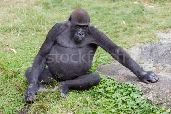Adult gorilla resting Stock photo © michaklootwijk