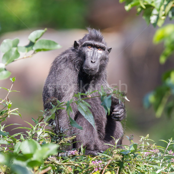 Adult Celebes crested Macaque Stock photo © michaklootwijk