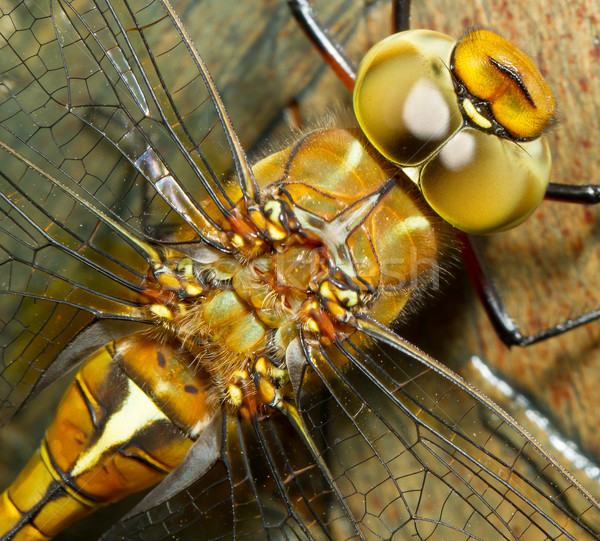 A close-up of a dragonfly Stock photo © michaklootwijk
