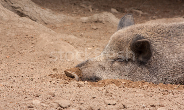 кабан песок Сток-фото © michaklootwijk
