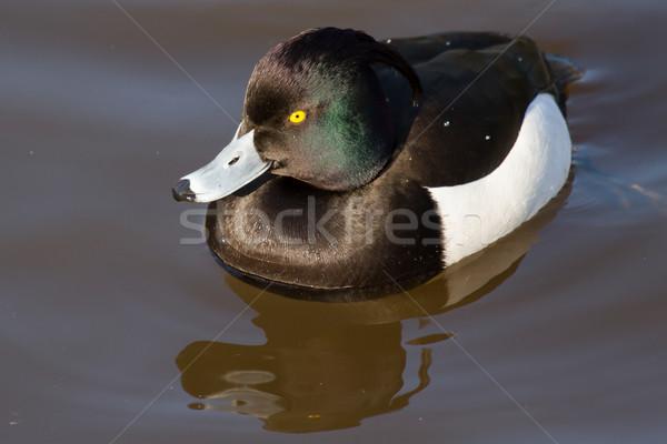 Male Tufted duck Stock photo © michaklootwijk