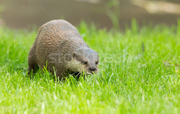 Wet otter is standing in the green grass Stock photo © michaklootwijk
