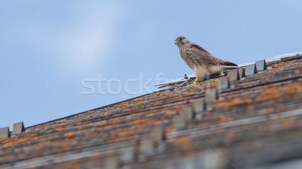 Valk dak naar buit boom natuur Stockfoto © michaklootwijk