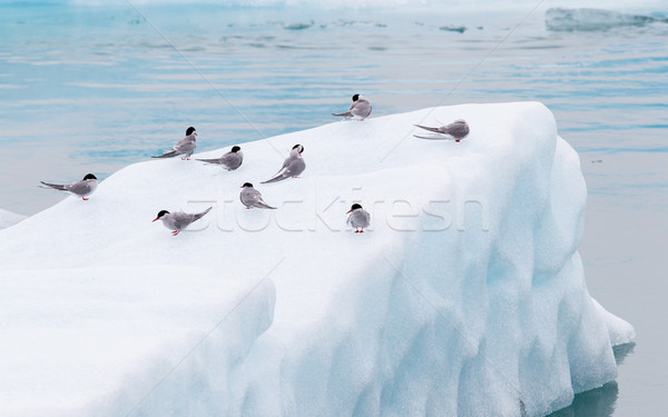 Birdlife in Jokulsarlon, a large glacial lake in Iceland Stock photo © michaklootwijk