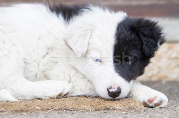 Border collie puppy boerderij een Blauw oog Stockfoto © michaklootwijk