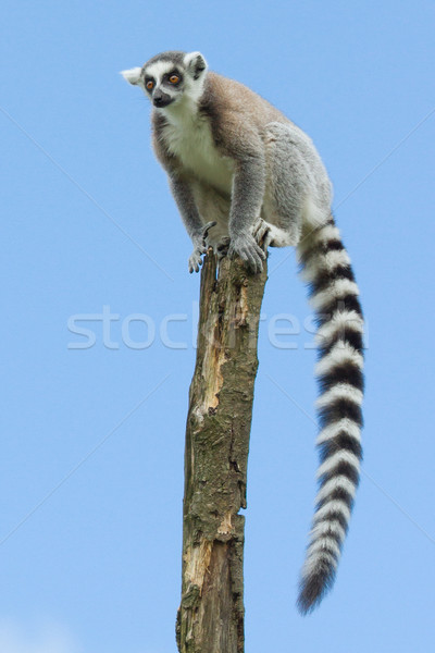 Ring-tailed lemur in a tree Stock photo © michaklootwijk