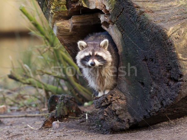 Adult raccoon at his nest Stock photo © michaklootwijk