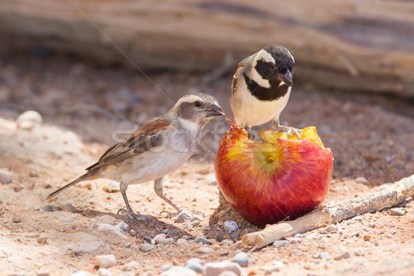 2 食べ リンゴ 羽毛 黒 動物 ストックフォト © michaklootwijk
