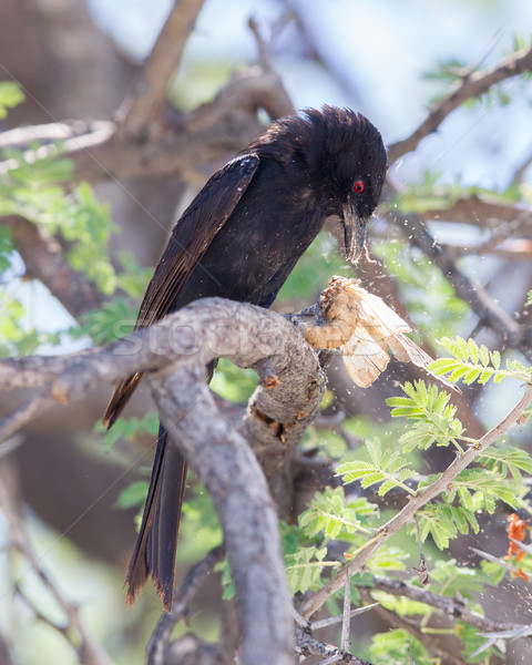 Fork-tailed Drongo eating a large insect  Stock photo © michaklootwijk