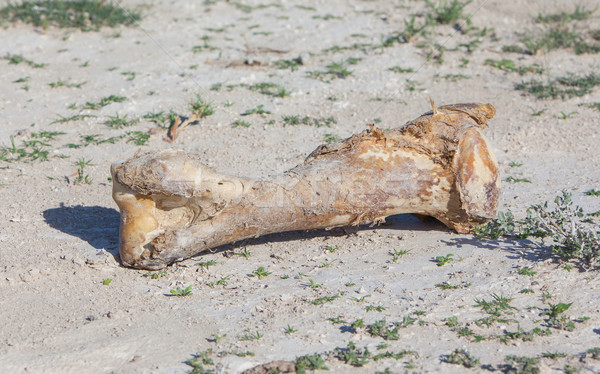 Giraffe Knochen Park Namibia Haut Kopf Stock foto © michaklootwijk