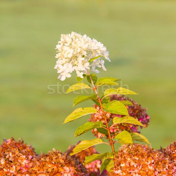 Witte bloem tuin ochtend licht bloem bruiloft Stockfoto © michaklootwijk