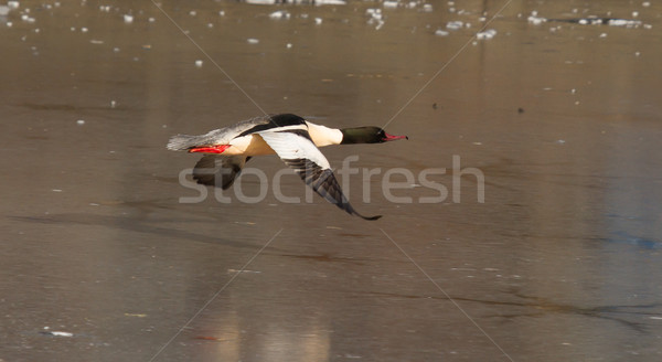 Stock photo: A male Goosander is flying