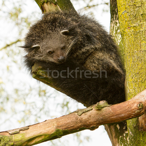 Close-up of a Binturong (Arctictis binturong) Stock photo © michaklootwijk
