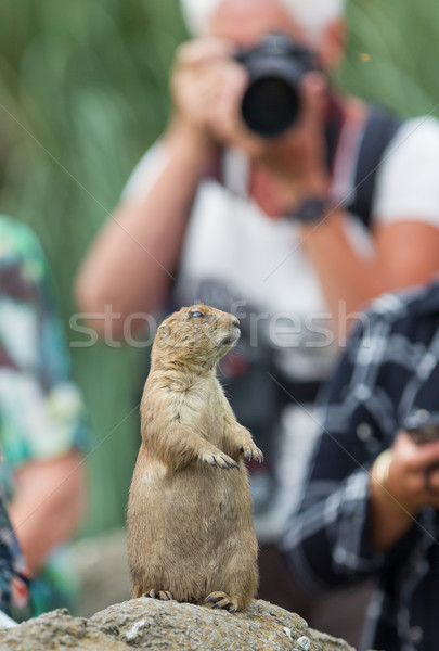 Black-tailed prairie dog  (Cynomys ludovicianus) playing for mod Stock photo © michaklootwijk