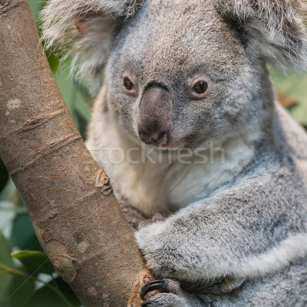 Close-up of a koala bear Stock photo © michaklootwijk