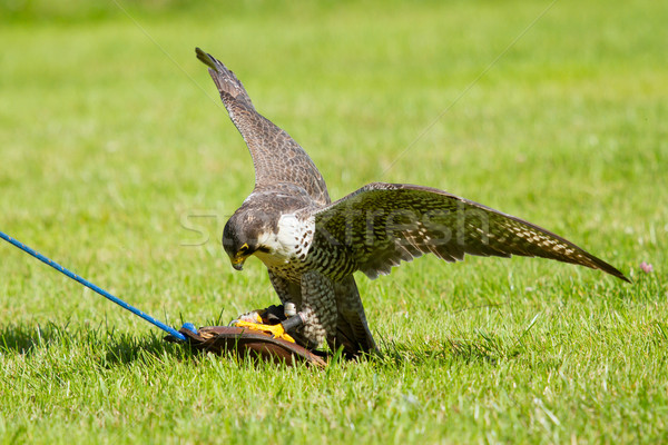 Falcon captivité formation sport nature oiseau Photo stock © michaklootwijk