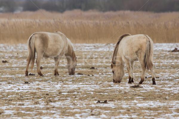Grazing Konik horses Stock photo © michaklootwijk