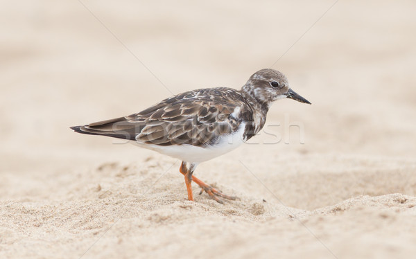 Sandpiper on the beach at Cape Cross Stock photo © michaklootwijk