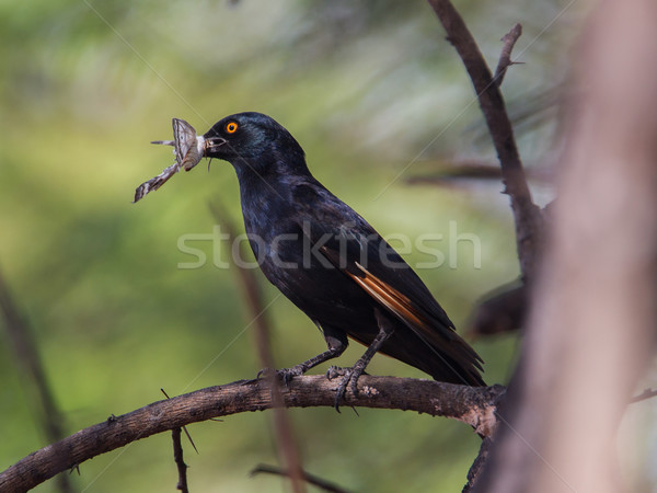 Red-winged Starling Stock photo © michaklootwijk