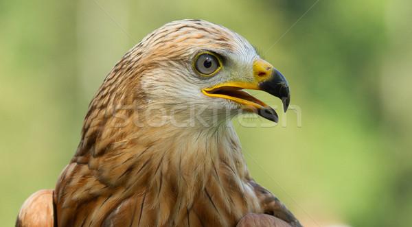 A long-legged buzzard Stock photo © michaklootwijk