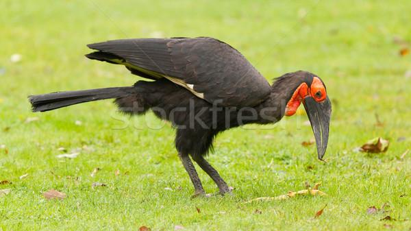 Southern Ground hornbill (Bucorvus leadbeateri) Stock photo © michaklootwijk