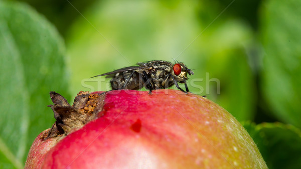 Fly on apple Stock photo © michaklootwijk