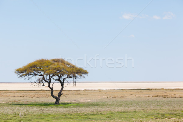 Tree in open field, Namibia Stock photo © michaklootwijk