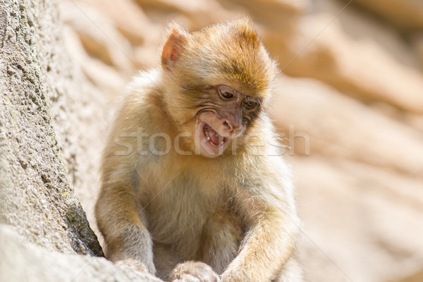 Grumpy Barbary Macaque (Macaca sylvanus) Stock photo © michaklootwijk