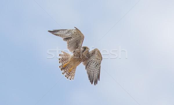 Halcón vuelo lejos listo caza árbol Foto stock © michaklootwijk