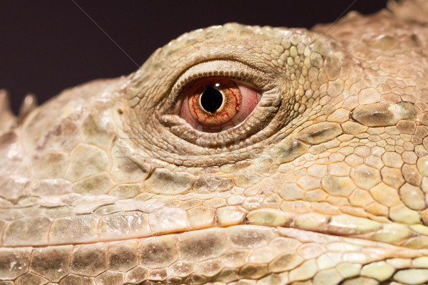 Close-up of a green iguana resting Stock photo © michaklootwijk