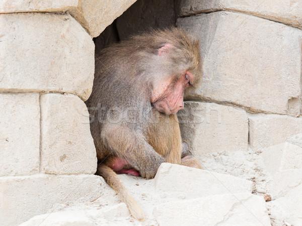 взрослый женщины бабуин спальный небольшой пещере Сток-фото © michaklootwijk
