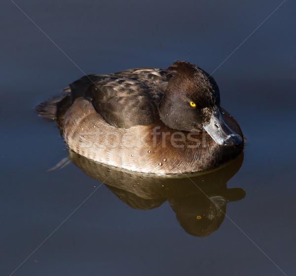 Female Tufted duck Stock photo © michaklootwijk