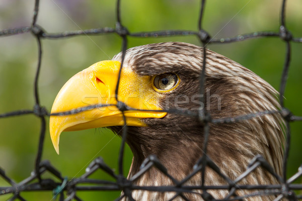 Steller's sea eagle in captivity Stock photo © michaklootwijk